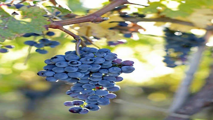 grape-vines